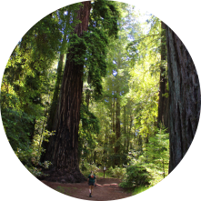 Coast Redwood circle