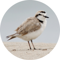 Western Snowy Plover Circle