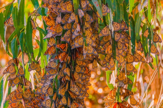 Overwintering Monarch Butterflies