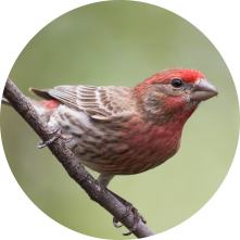 House Finch Circle.png
