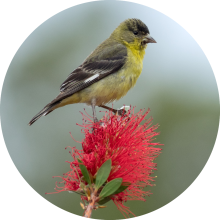 lesser goldfinch circle