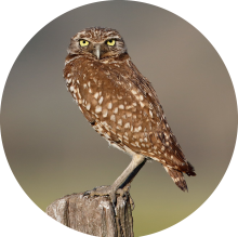 burrowing owl circle