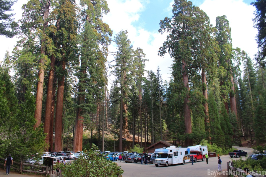 Giant Sequoia 7 Logo.jpg
