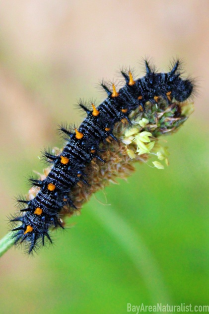 Variable Checkerspot caterpillar on an English Plantain at Purisima Redwoods Preserve