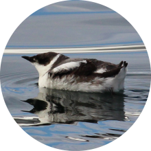 Marbled murrelet circle