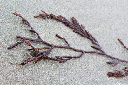 Chain bladder kelp