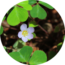 Redwood Sorrel Circle